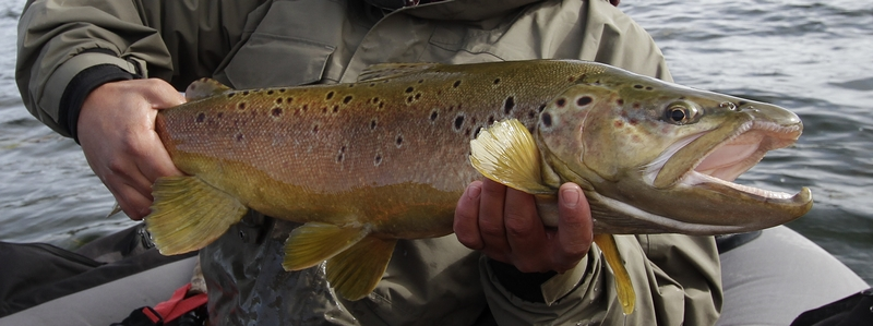 brown trout (2)